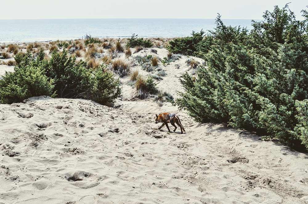 Ein Maremma-Fuchs