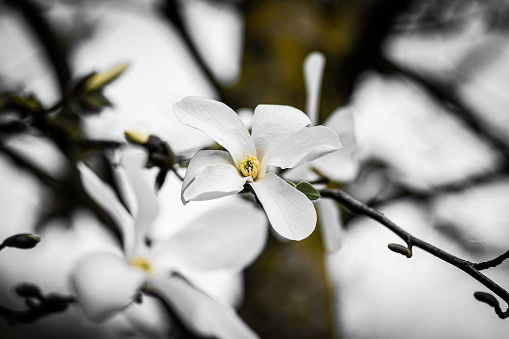 bild-magnolie
