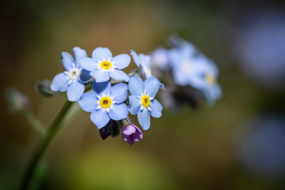 In diesem Bild ist ein Vergissmeinnicht im Frühling zu sehen. Eine wunderschöne kleine Blume.