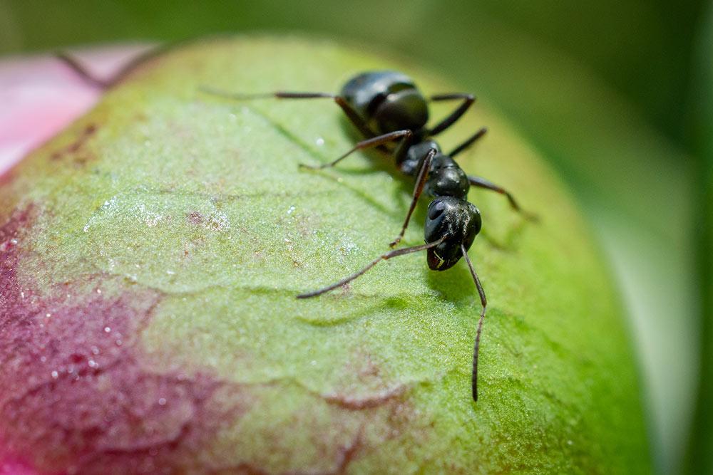 Im diesem Bild ist eine schwarze Ameise auf der schon bekannten Pfingstrose zu sehen.