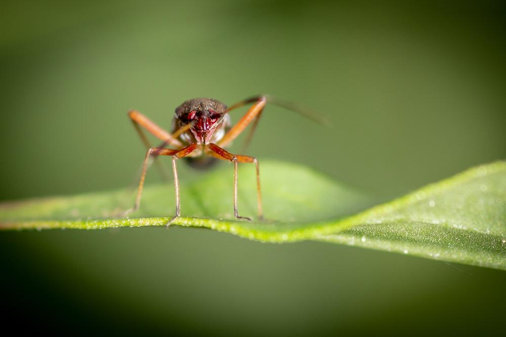 Im Bild befindet sich ein unbekannter Käfer, der mich von seinem Blatt aus anstarrt.