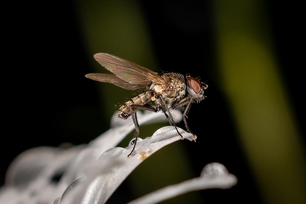Im Bild ist die Makrofotografie einer Fliege auf einer Margerite im Regen zu sehen.