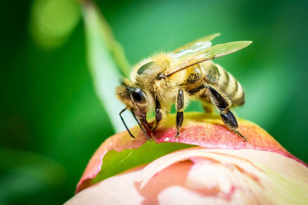 Das Bild zeigt die Makrofotografie einer Biene ebenfalls auf der Knospe einer Pfingstrose.