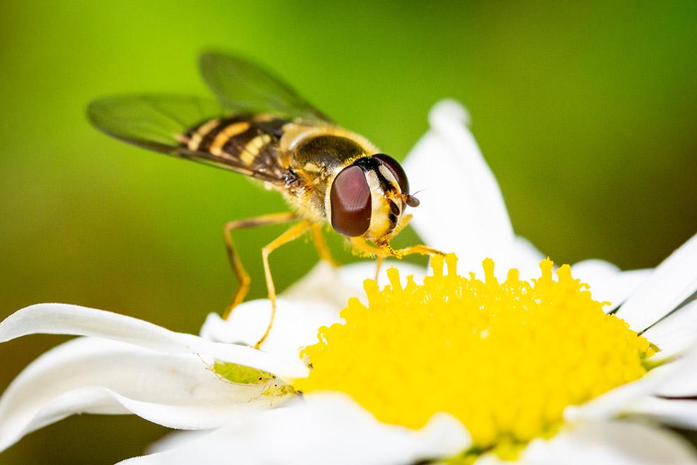 Das Bild zeigt die Makrofotografie einer Schwebfliege auf einer Margerite.