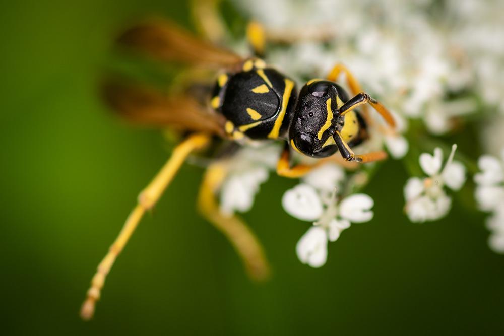 Im Bild ist eine Wespe zu sehen, die auf einer Blüte herumklettert und dabei immer wieder abrutscht.